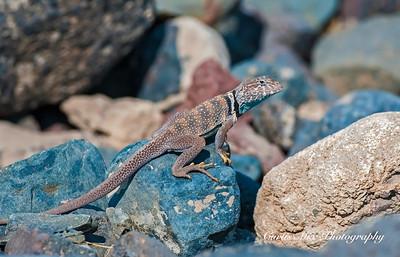 Collard Lizard, Nevada.