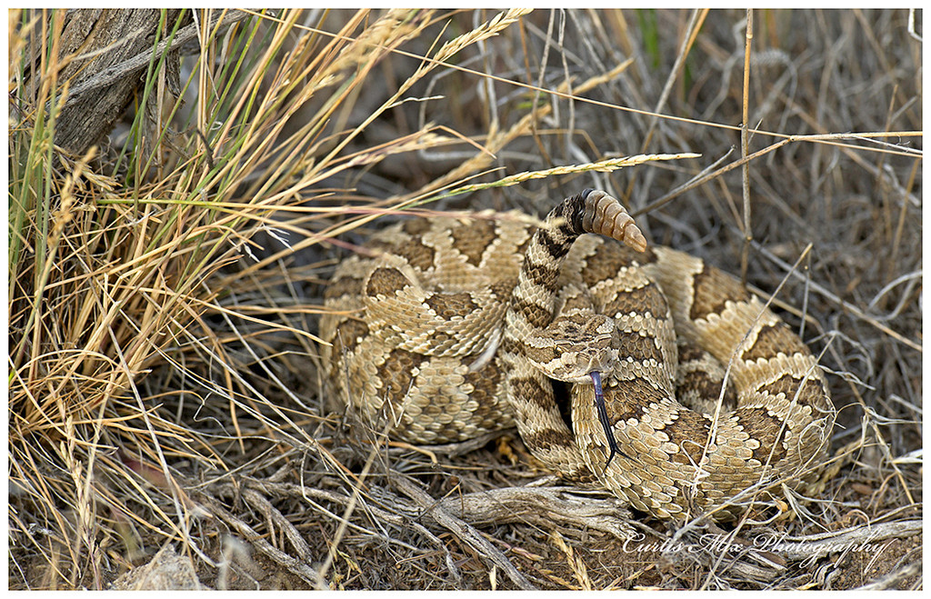Great Basin, Western Rattlesnake. Oregon.