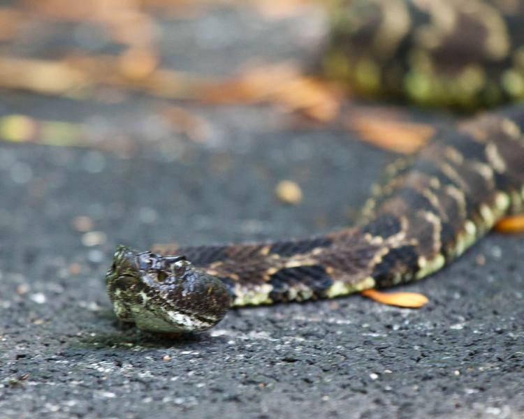 Timber Rattlesnake Crotalus horridus on Skyline Drive Virginia