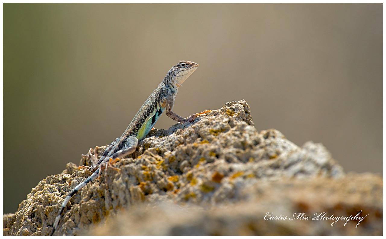 Zebra-tailed Lizard, Neveda.