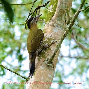 RXT11442 - Laced Woodpecker