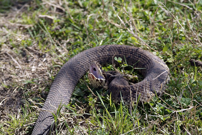 Cottonmouth Water-moccasin