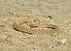 Prairie rattlesnake, Crotalus viridis, Colorado (3)