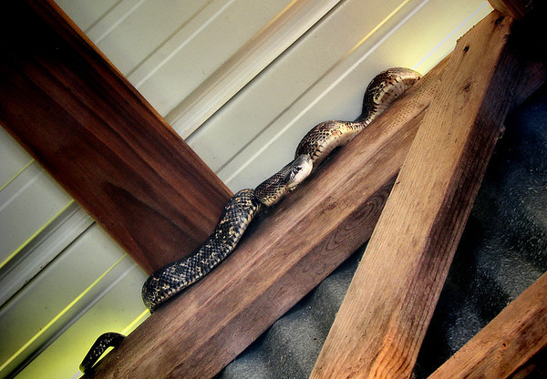 Texas rat snake (Elaphe obsoleta lindheimeri) climbing atop a wall (20140424_10093)