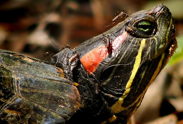 Close-up of a red-eared slider (Trachemys scripta elegans) with mosquitoes covering its head (IMG_2444_c)