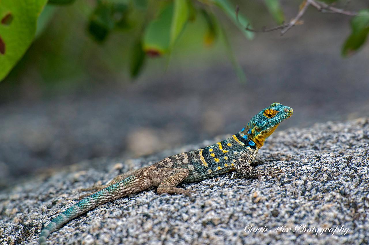 Baja Rock Lizard.