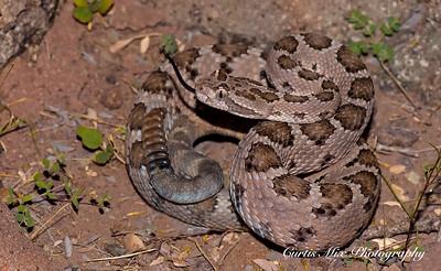 Baja Rattlesnake, BCS, Mexico.