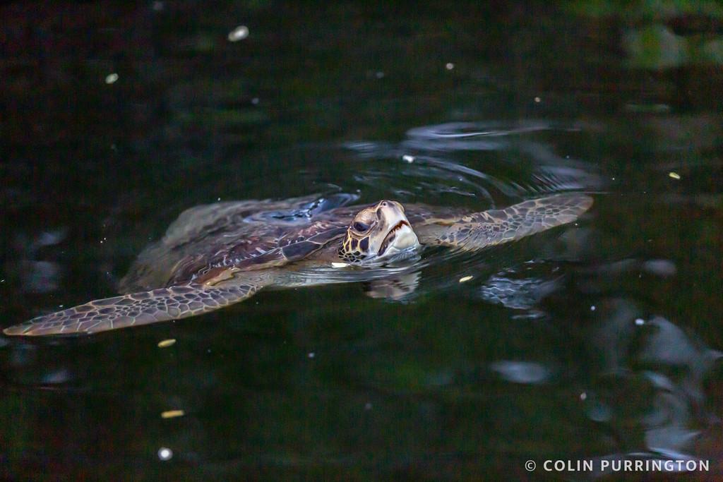 Galapagos green turtle (Chelonia mydas agassizii)