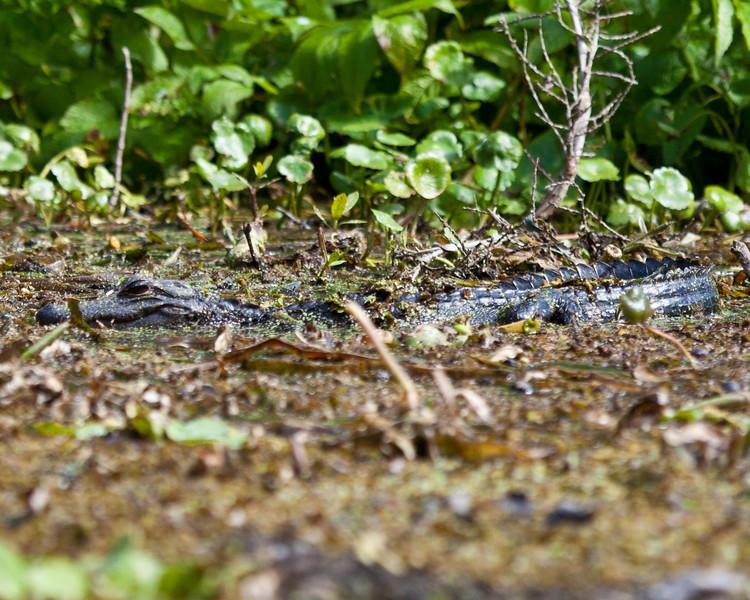 alligator on Wekiva River