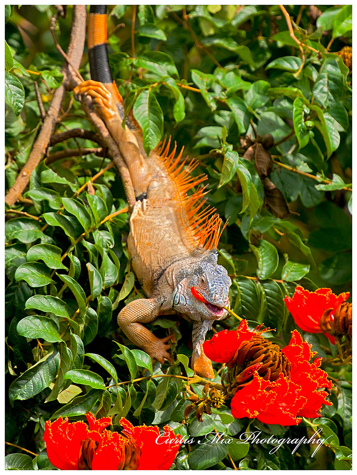 They spend a lot of time grazing in tree tops and this one is eating the blooms.