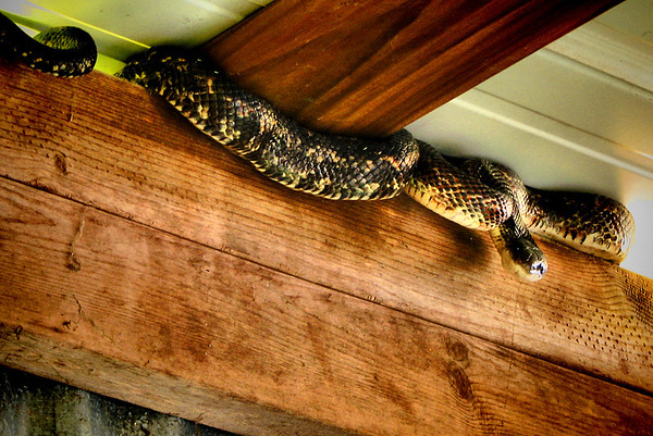 Texas rat snake (Elaphe obsoleta lindheimeri) climbing atop a wall (20140424_10075)