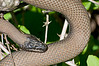 Water snake, Beaver Marsh, 6/5/2009