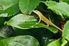 Small lizard, Avon, NC