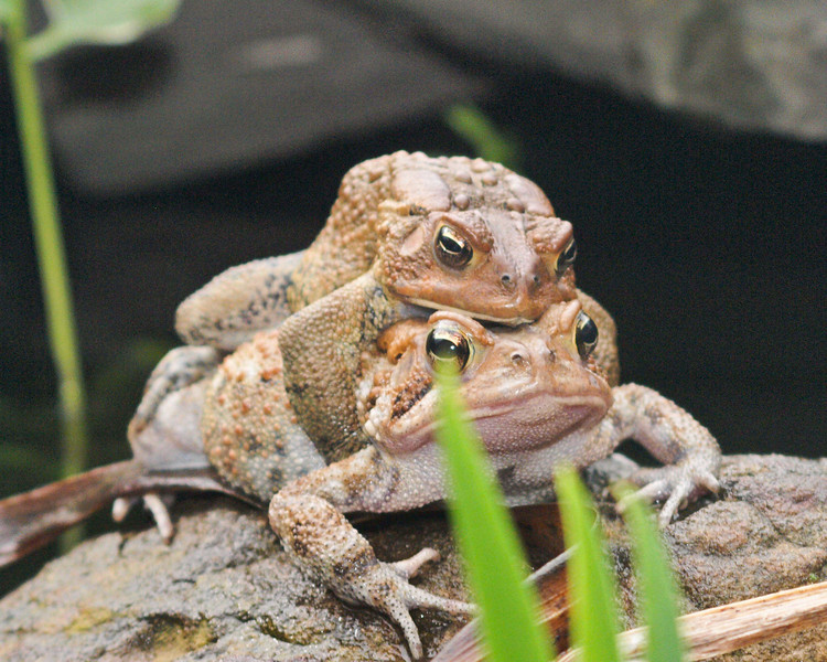 Mating frogs in pond