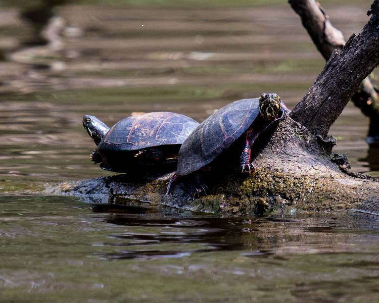 Turtle l