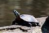 Turtles-31