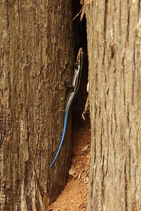 Blue-tailed_Skink-a