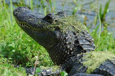American Alligator - Brazos Bend State Park