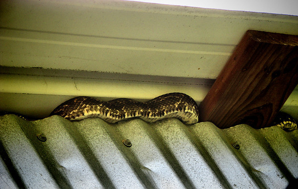 Texas rat snake (Elaphe obsoleta lindheimeri) climbing atop a wall (20140424_10059)