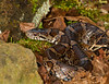 Eastern Milk Snake<br /> Eastern Milk Snake, Mountain Meadows, Bedford County, PA