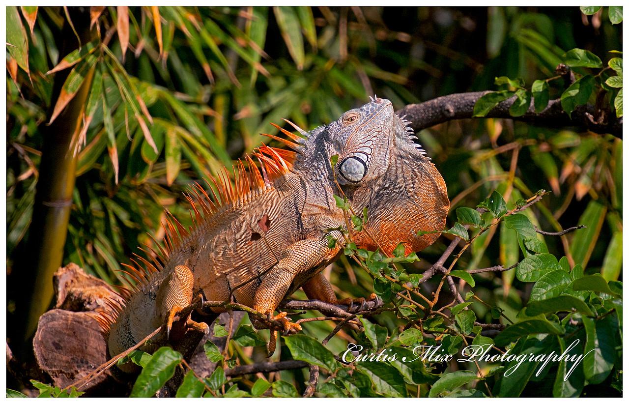 Green Iguana, Mexico.
