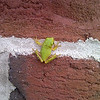 Squirrel Tree Frog. Here we can see how small they are, this one is hanging onto the wall across a mortar line.