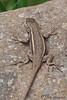 Southwestern Fence Lizard<br /> Cave Creek, AZ