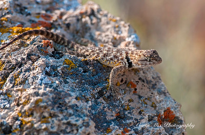 Spiny lizard, Nevada.