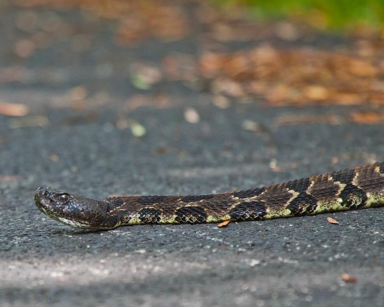 Timber Rattlesnake on Skyline Drive, Elks Wallow