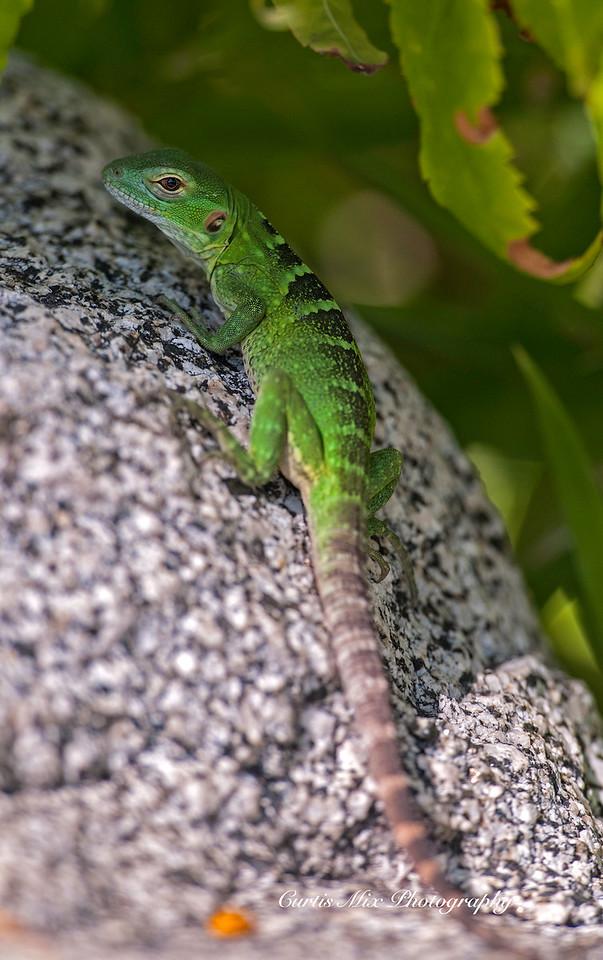 Young Spiny-tailed Iguana, BCS, Mexico.