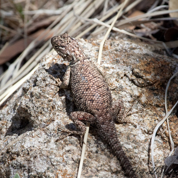 Yarrow's Spiny Lizard<br /> Santa Rita Mts<br /> AZ