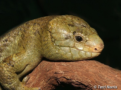 lizard_npn_5200
