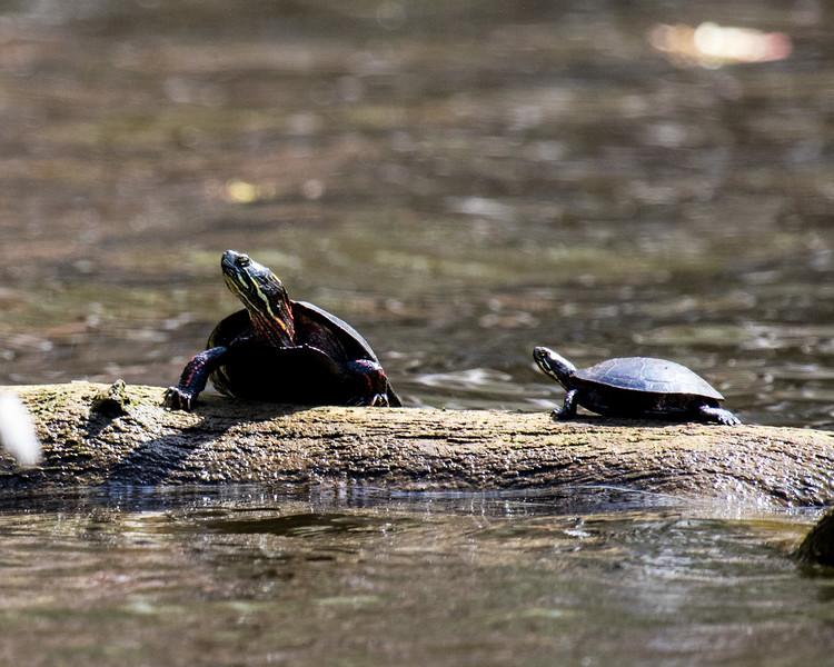 Turtles-18