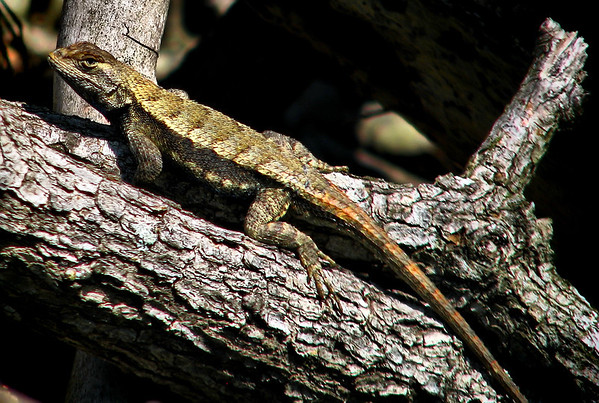 Texas spiny lizard (Sceloporus olivaceus) (20140408_09889)