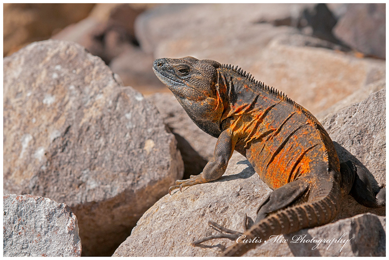 Spiny-tailed Iguana.