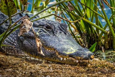 Wild Florida Alligator