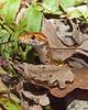 Corn snake 2  2010-1