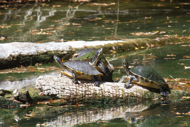 Yellow bellied sliders 0318-2