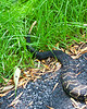 Timber Rattlesnake Crotalus horridus on Skyline Drive Virginia