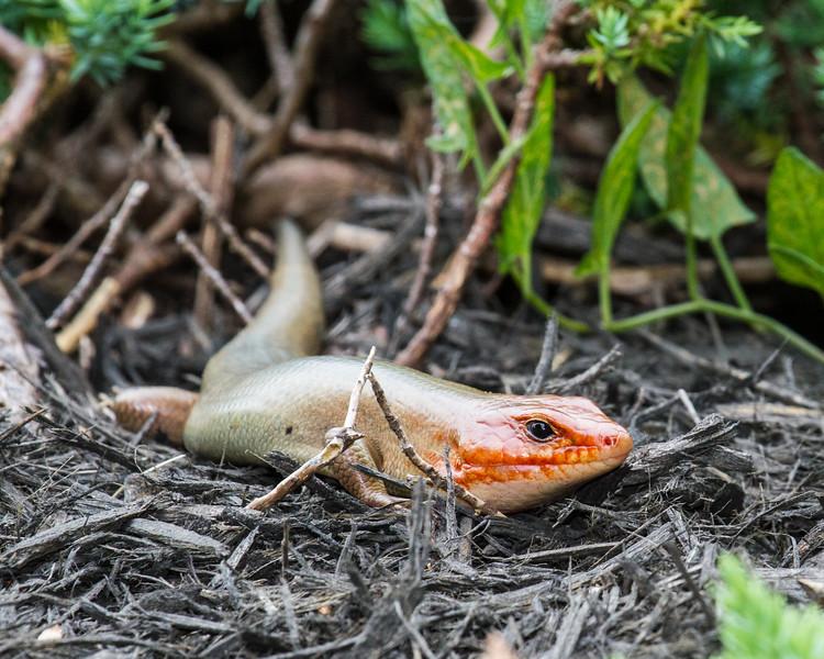 Lizard 05212