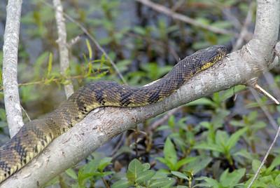 Water snake, Attawater PC NWR