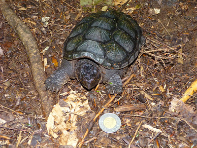Snapping Turtle, quite young