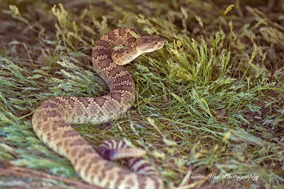 Northern Pacific Rattlesnake. Southern California.