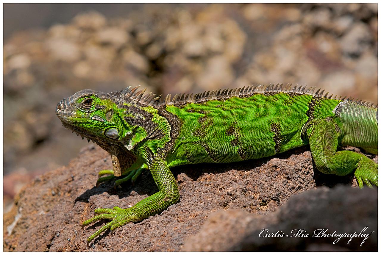 Young Green Iguana.