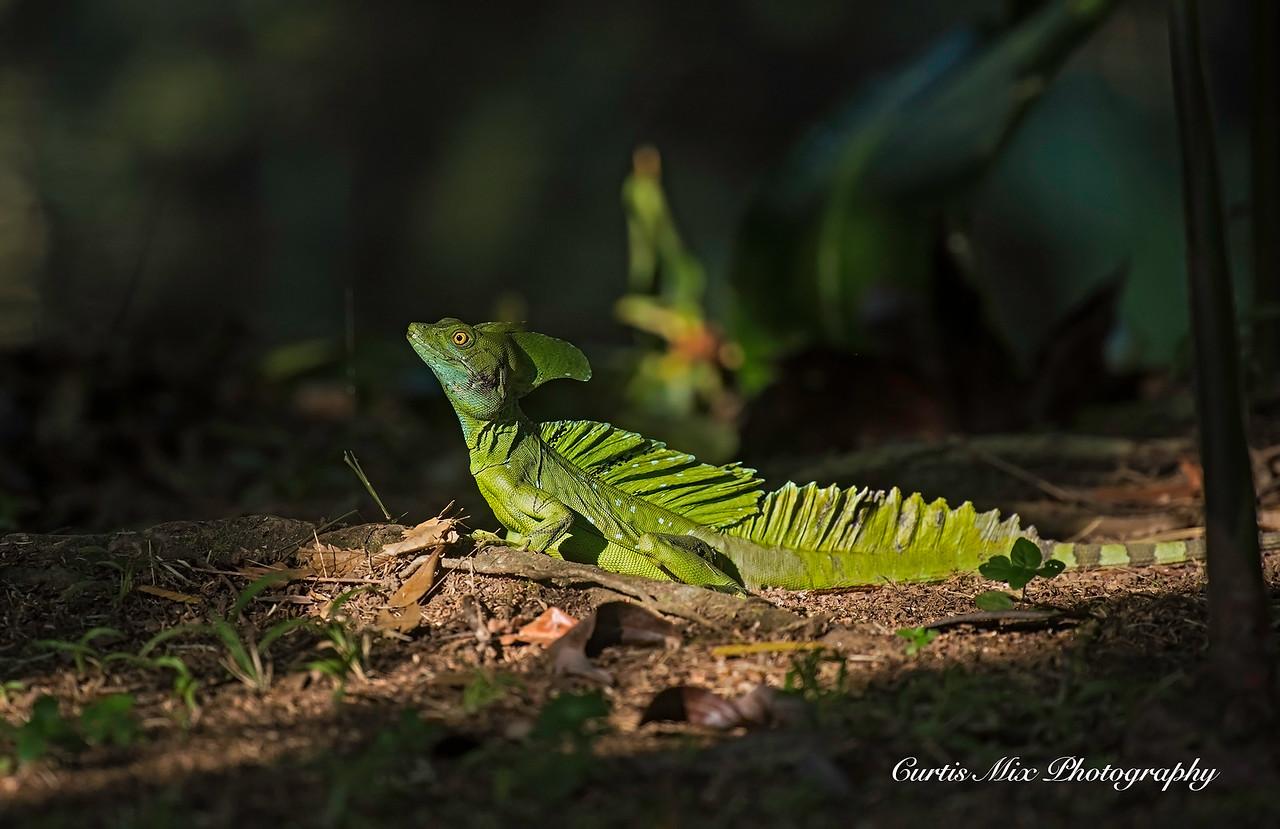 Green Basilisk, Tortuguero, Costa Rica.
