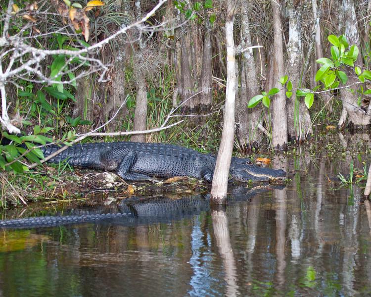 Alligator in Florida Everglades