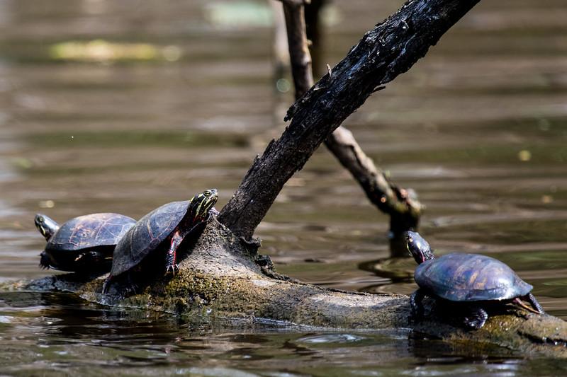 Turtles-17