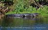 Big Gator 3