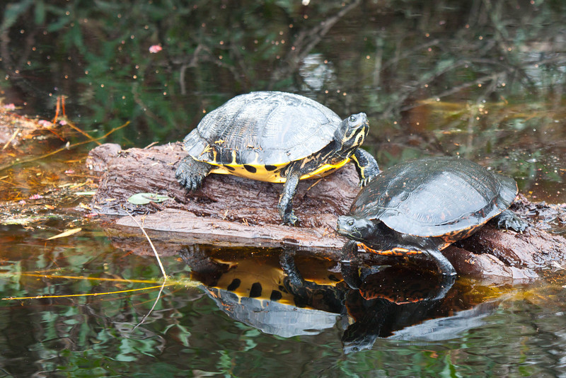 Yellow belly slider and red belly turtle on log