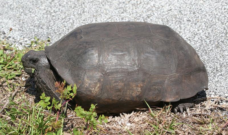 Gopher Tortoise at Merritt Island NWR
